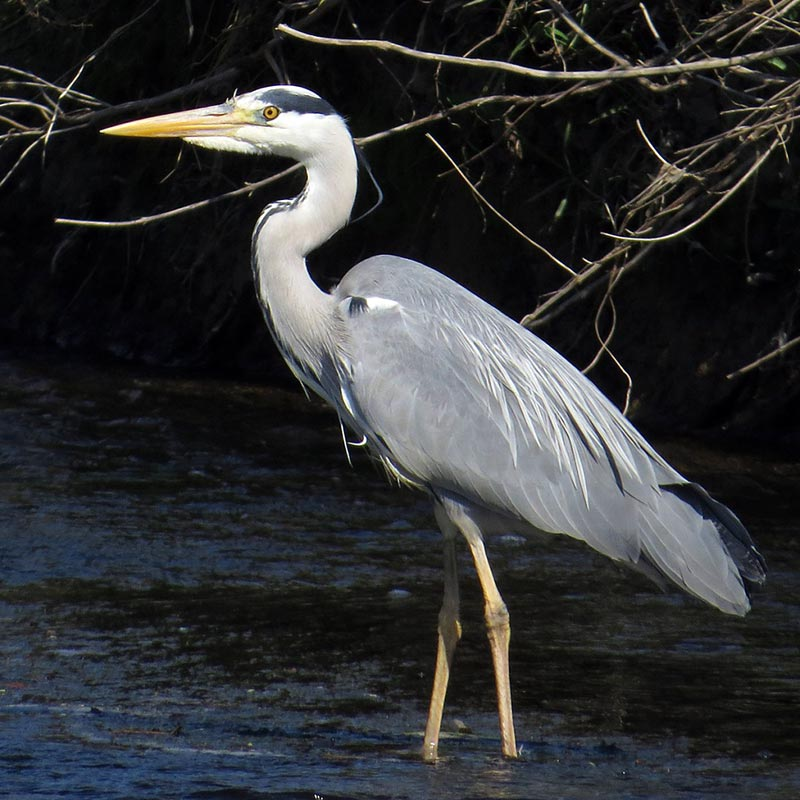 River Wear walks - a beautiful Grey heron stands in the river.