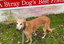 Elena, a ten-year-old female lurcher is one of hundreds of stray dogs helped every year by Stray Aid.